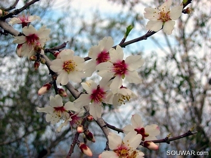 Almond Flowers , Aadbel