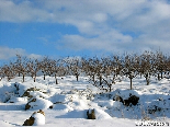 Apple field in full snow