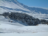 Cedars Covered in Snow