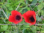 Coquelicots in duo