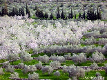 Flowering Almond Field , Bayno