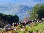 Sheeps In Akkar , Near The Pin Forest , Gebrayel Automn 2005