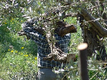 Olive Trees trimming Al koura