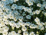 Beautiful white bed of flowers