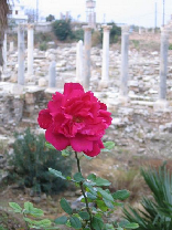 A rose amongst the ruins in Tyre