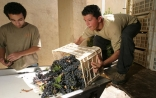 Displaying the grapes on the sorting table